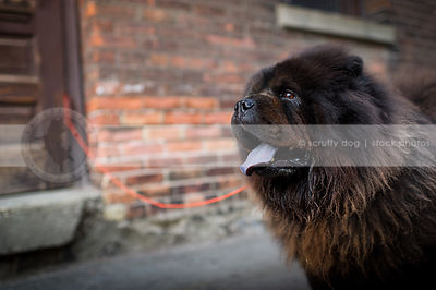 headshot of black chow dog at brick wall in urban setting