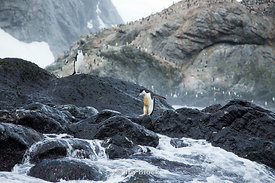 Chinstrap penguins walking on rock by the sea around Elephant Island.