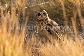 short_eared_owl_in_grass_horizontal-7