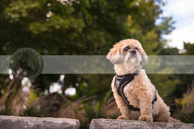 fluffy little cream dog sitting on boulder with minimal background