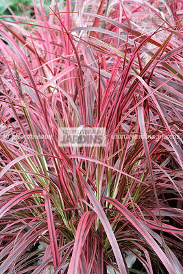 la phototh que les plus beaux jardins pennisetum setaceum fireworks herbe aux couvillons. Black Bedroom Furniture Sets. Home Design Ideas