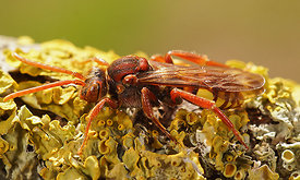 Nomada species, female
