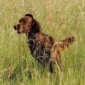 Irish Setter puppy running in long grass
