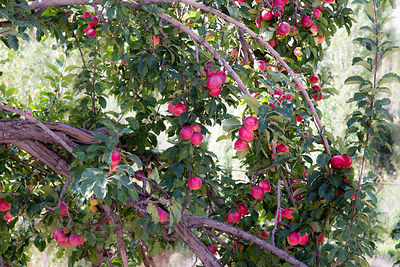 Apple tree in Nimmu village, Ladakh, India