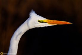 Great Egret #12