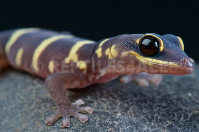 Ocellated velvet gecko  (Oedura monilis) photos