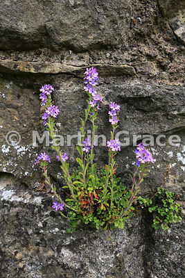 Fairy Foxglove (Erinus alpinus) growing on the walls of Helmsley Castle, Helmsley, Yorkshire, England, June 15