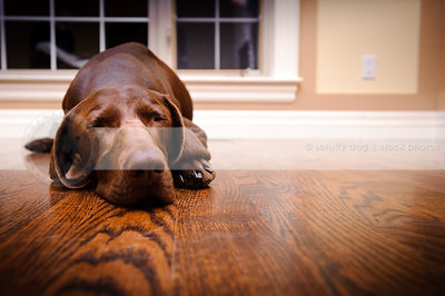tired brown dog sleeping on hardwood floor at home indoors