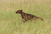 Irish red setter running through long grass