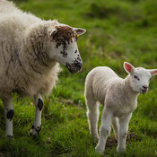 Young lamb with mother near View of Ribblehead viaduct, Yorkshire Dales National Park, England, United Kingdom