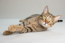 Brown Tabby Cat with Yellow Eyes and Paw Raised