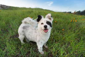 Smiling Small white mixed breed dog with black markings standing in grass
