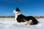 Alert Border Collie sheepdog on moorland in winter, Cumbria, UK.