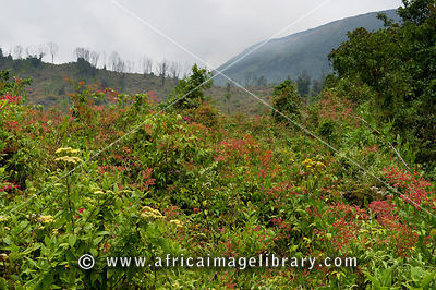 Afro-alpine moorland on Nyiragongo Volcano, Virunga National Park, DR Congo