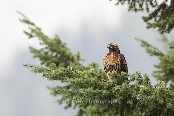 Red-tailed Hawk and composition photos