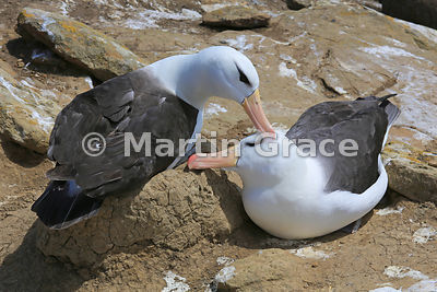 Pair of Black-Browed Albatross (Thalassarche melanophrys) strengthening their pair-bond by mutual preening, The Rookery, Saunders Island