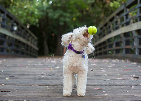 Small white poodle mix tossing tennis ball out of mouth