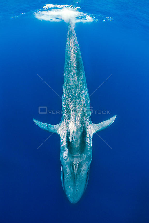 Blue whale (Balaenoptera musculus) diving beneath the surface.  Indian Ocean, Sri Lanka.