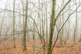 Foggy Forest, Blue Ridge Parkway, North Carolina, USA