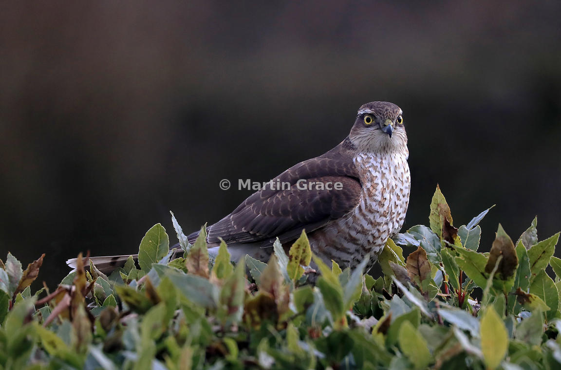 Juvenile male Eurasian Sparrowhawk (Accipiter nisus) sitting in the top of a garden Bay bush (Laurus nobilis), Lake District National Park, Cumbria, England
