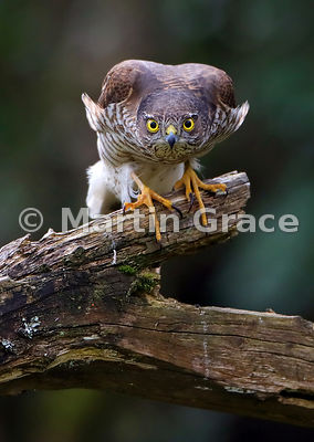 Sparrowhawk Glare - commended in the Garden and Urban Birds category of Bird Photographer of the Year 2018