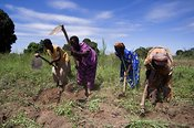 African women in fields cultivating soil with hoes, Mbale, Uganda Africa
