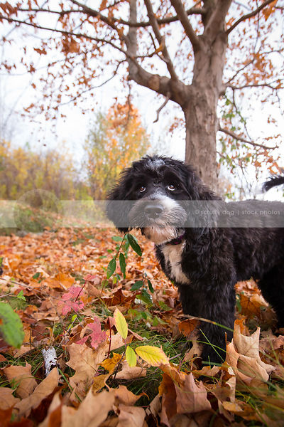 expressive puppy with eyes looking skyward in clearing in autumn