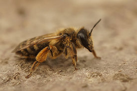 Andrena flavipes, female, 2nd generation