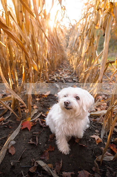 sweet little white dog sitting in corn rows