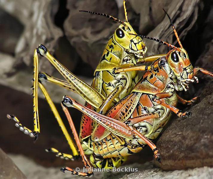 U.s. Grasshoppers Julianne Bockius Photo...