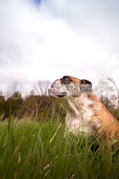 proud brindle and white bulldog looking skyward in grasses