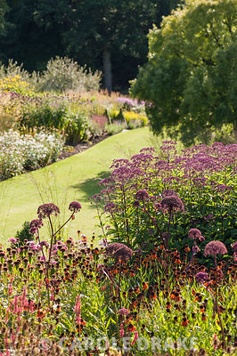 Main borders full of purples and oranges including tall Angelica gigas, eupatorium and heleniums. RHS Garden Harlow Carr, Harrogate, North Yorkshire, UK