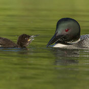 Loons photos