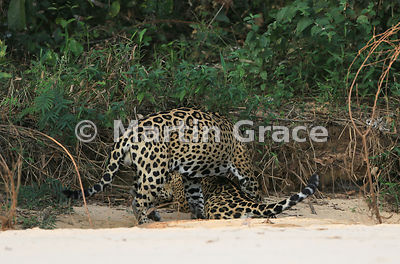 Male Jaguar 'Hero' (Panthera onca) mates with female 'Hunter', Three Brothers River, Northern Pantanal, Mato Grosso, Brazil. Image 40 of 62; elapsed time 1h 35mins