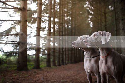 two weimaraners posing together in pine forest