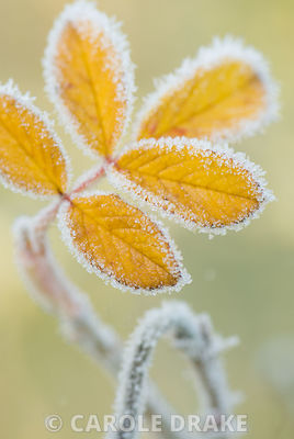 Frost edged yellow leaf of Rosa rugosa leaf