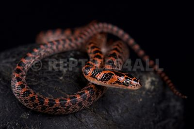 Banded red snake (Lycodon rufozonatum ) photos