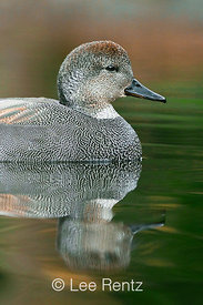 Gadwall, Anas strepera, Male in Seattle Arboretum