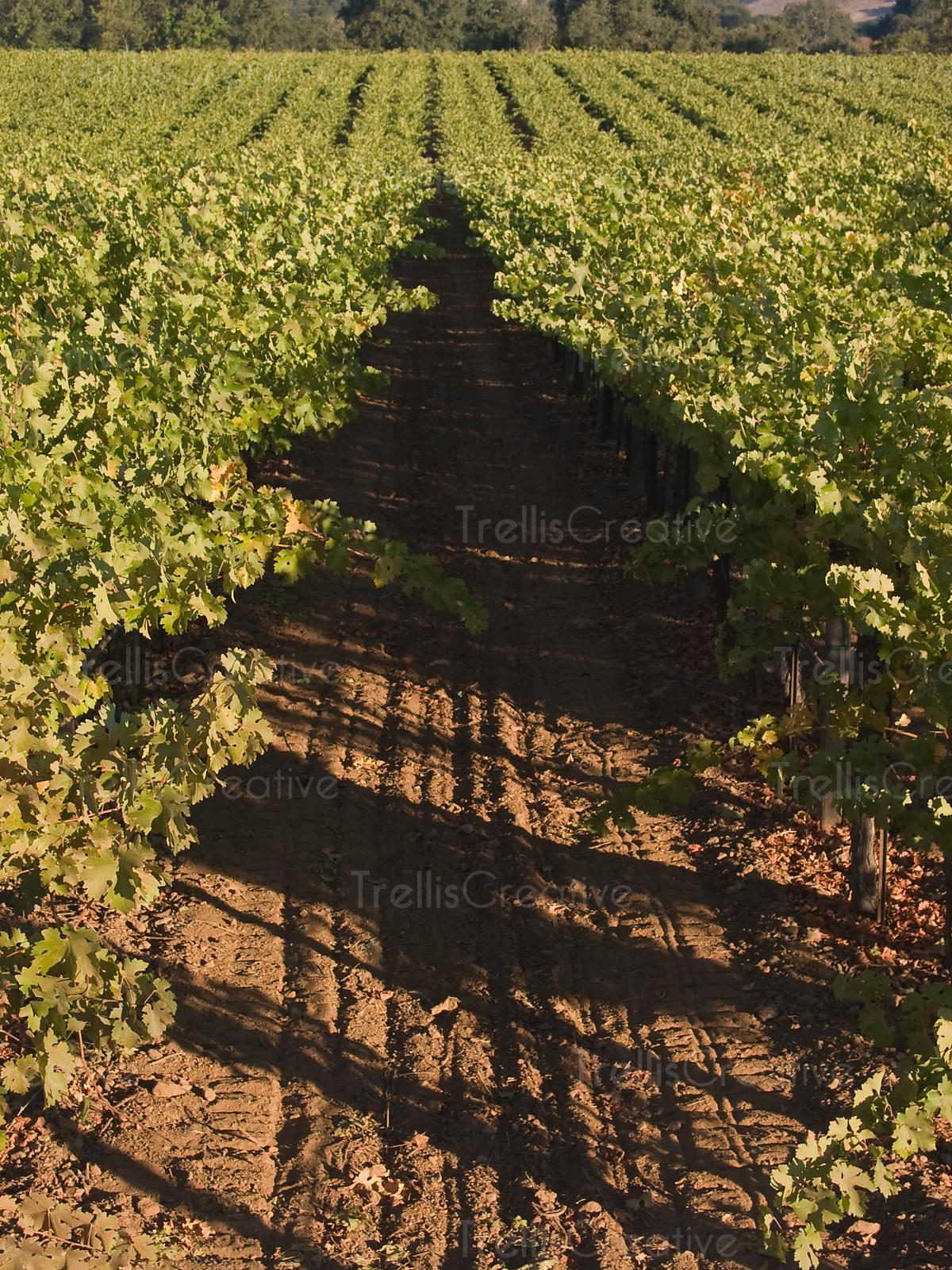 Looking out across the top of grape vine canopy & Trellis Creative | Vines u0026 Vineyard Landscapes