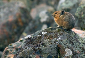 October - Rocky Mountain Pika
