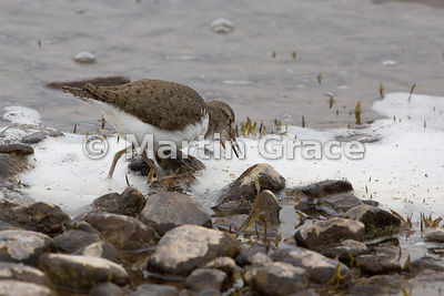 Common Sandpiper (Actitis hypoleucos) feeding on dead insects lying on the foam at the margin of Lochindorb, Inverness-shire, Scotland