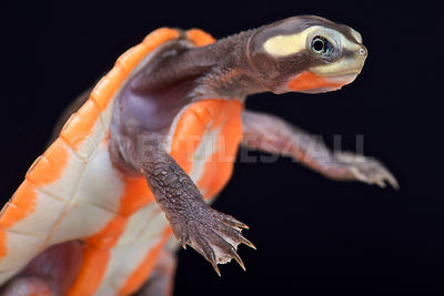Red-bellied Shortneck Turtle (Emydura subglobosa)  photos