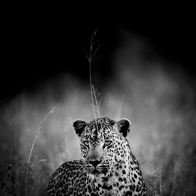 4389-Leopard_in_the_grass_South_Africa_2008_Laurent_Baheux
