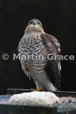 Eurasian Sparrowhawk (Accipiter nisus) waiting optimistically on a bird table with throat feathers fluffed out, Lyth Valley, Cumbria, England: Image 4 of 4