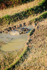 Buffalo in Mud Filled Rice Paddy