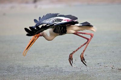 Painted stork (Mycteria leucocephala) hunting, Keoladeo National Park, Bharatpur, India