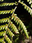 Dicksonia antarctica, Soft Tree Fern