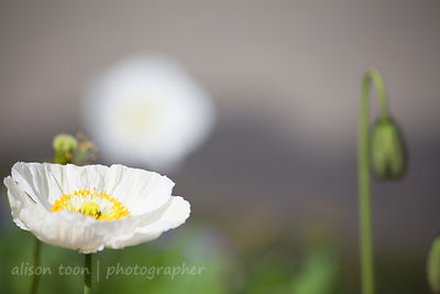 White poppies in bloom