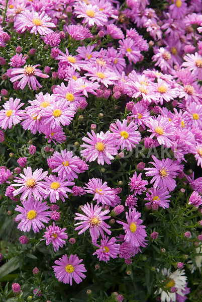 Aster novi-belgii 'Waterperry'. Waterperry Gardens, Wheatley, Oxfordshire, UK