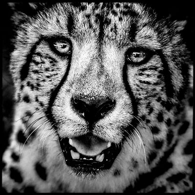 Cheetah portrait, Kenya 2013 © Laurent Baheux